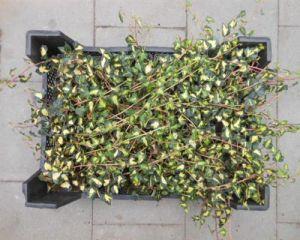 hedera goldhaert 1 st ck efeu 20 30 bodendecker kletterpflanze t9x9. Black Bedroom Furniture Sets. Home Design Ideas