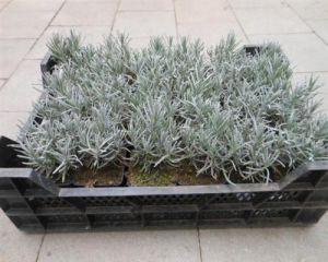 lavendel 100 st ck munstead lavendula angustifolia. Black Bedroom Furniture Sets. Home Design Ideas