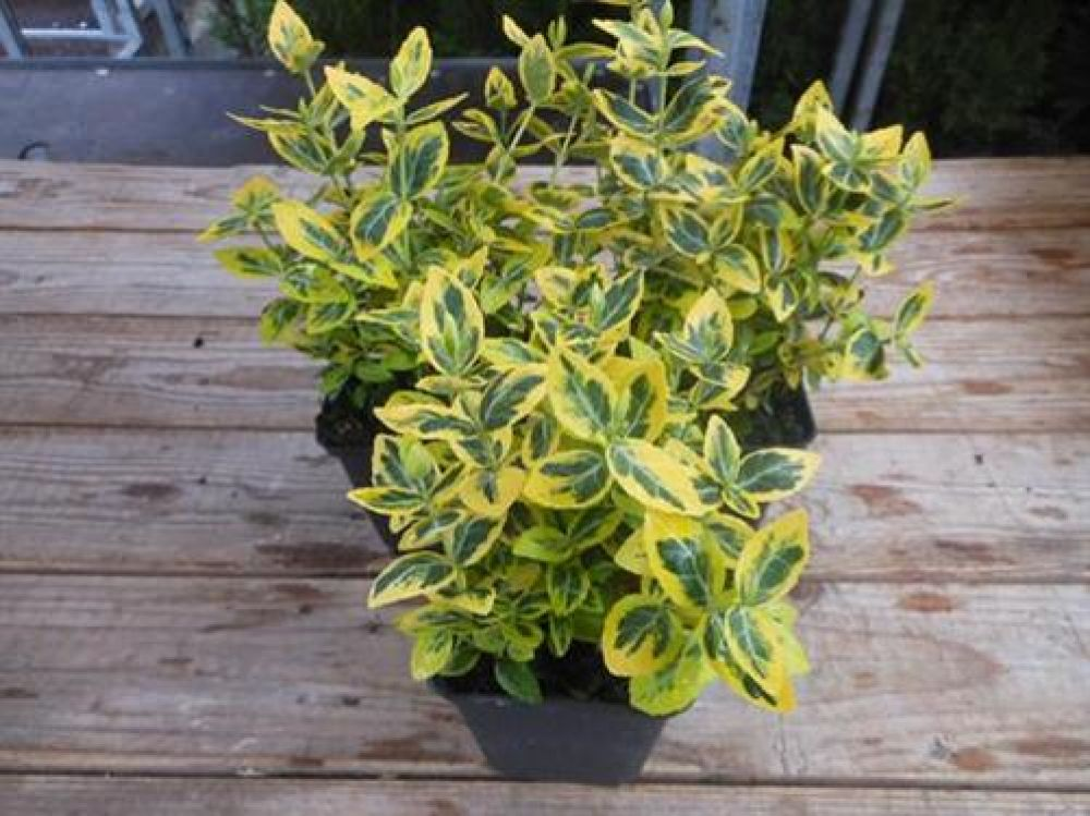 euonymus 1 st ck fortunei 39 emerald 39 n gold 39 spindelstrauch. Black Bedroom Furniture Sets. Home Design Ideas