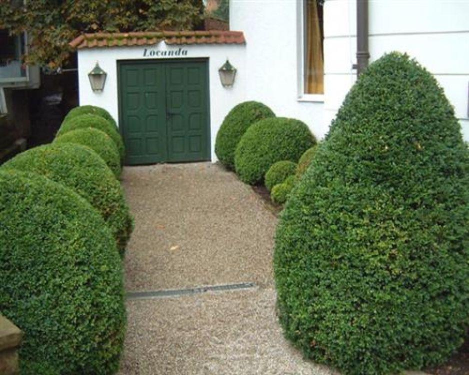 buxus sempervirens 50 st ck buchsbaum 8 15 hecken buchs. Black Bedroom Furniture Sets. Home Design Ideas