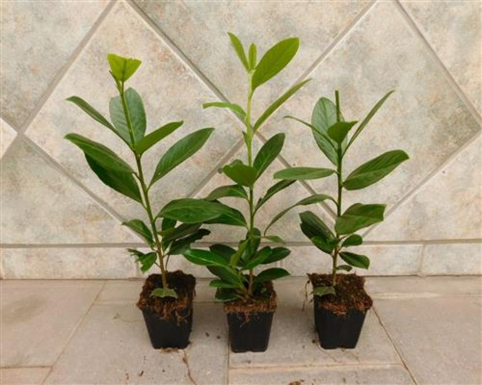kirschlorbeer rotundifolia online kaufen. Black Bedroom Furniture Sets. Home Design Ideas