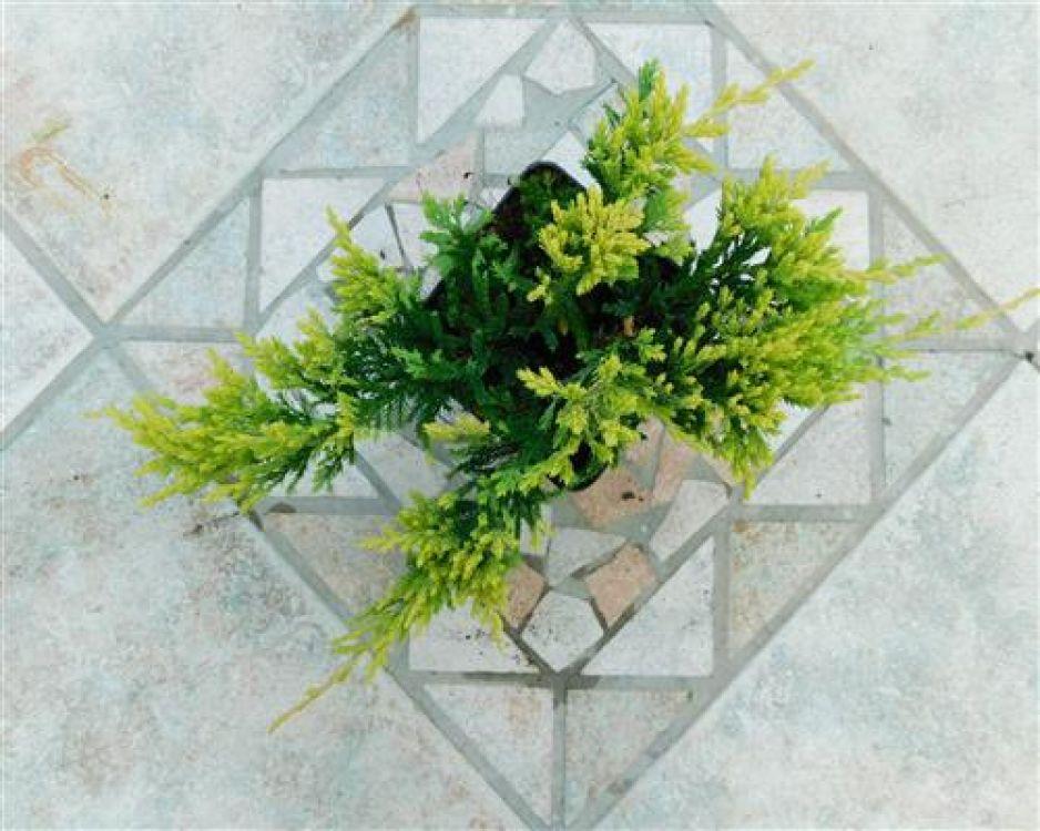 juniperus hor 1 st ck gold carpet krich wacholder 25 35 bodendecker. Black Bedroom Furniture Sets. Home Design Ideas