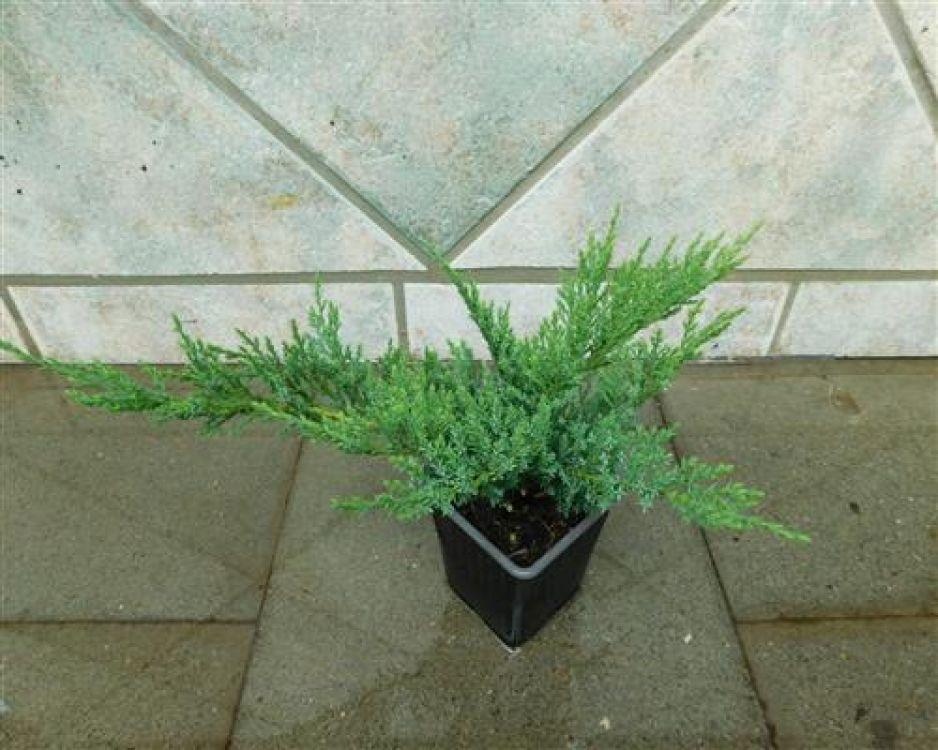 juniperus sabina 100 st ck tamarscifolia wacholder 10 15 bodendecker. Black Bedroom Furniture Sets. Home Design Ideas
