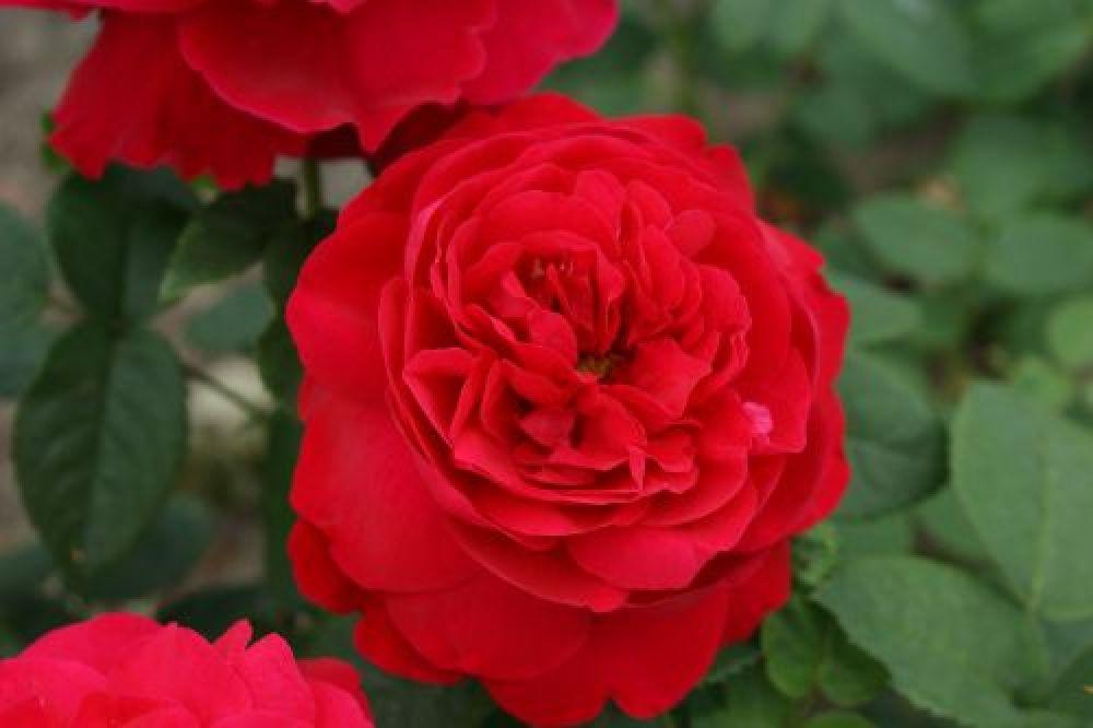 l d braithwaite auscrim englische rose rot wurzelnackt. Black Bedroom Furniture Sets. Home Design Ideas