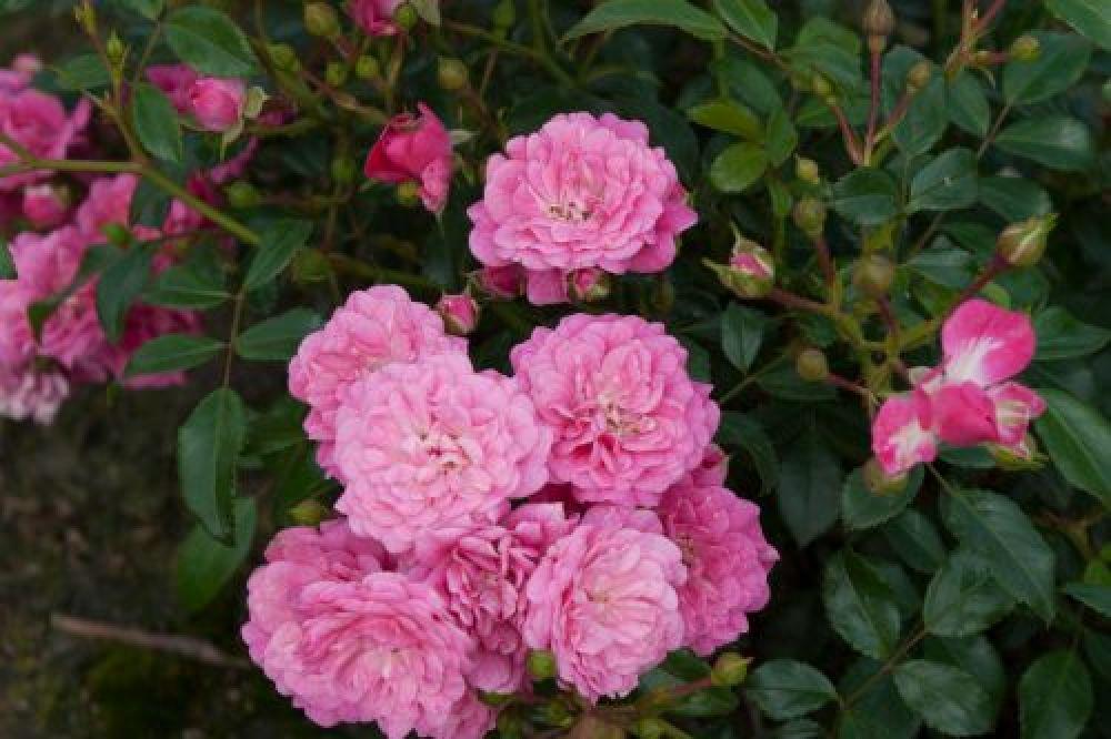 bodendecker rosen lovely fairy spevu rosa wurzelnackt. Black Bedroom Furniture Sets. Home Design Ideas