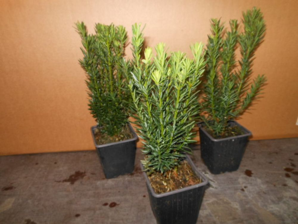 taxus media 12 st ck groenland bechereibe 25 30 cm t9x9 heckenpflanze. Black Bedroom Furniture Sets. Home Design Ideas