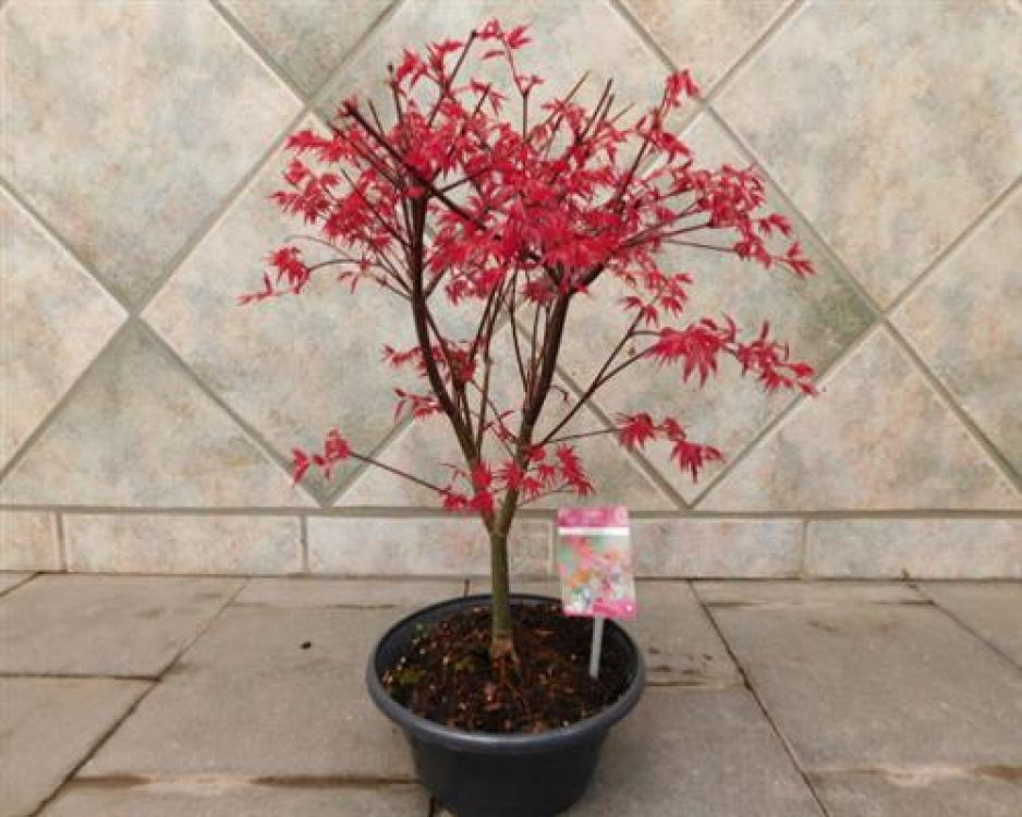 ahorn f cherahorn beni maiko acer palmatum bonsai online g nstig bestellen. Black Bedroom Furniture Sets. Home Design Ideas