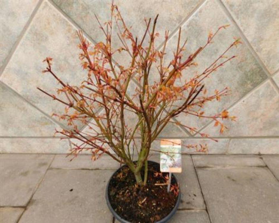 ahorn f cherahorn katsura acer palmatum bonsai online. Black Bedroom Furniture Sets. Home Design Ideas
