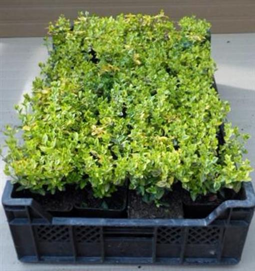 gartenbau service euonymus 25 st ck fortunei 39 emerald 39 n. Black Bedroom Furniture Sets. Home Design Ideas