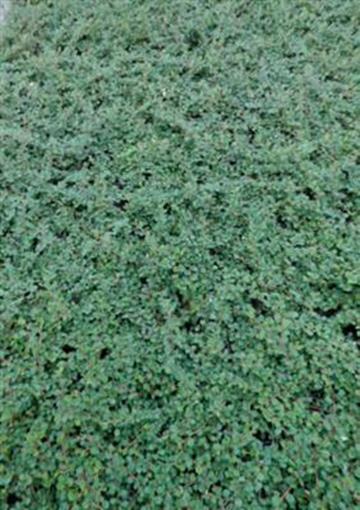 Zwegmispel cotoneaster dammeri queen of carpet 50 st ck zwergmispel bodendecker ebay - Cotoneaster dammeri green carpet ...