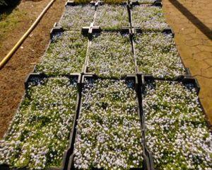 Gaudich Pflanze: Isotoma Fluviatilis, Trittfester Rasenersatz ... Begehbare Bodendecker Rasenersatz Pflanzen