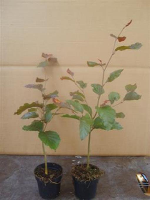 Fagus 1 Stück sylvatica purpurea Blutbuche 30-40 cm T9x9 Hecken  317868