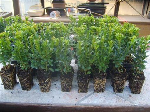 Buxus sempervirens 50 Stück Bux 8/15 Buchsbaum Hecken Buchs Pflanzen