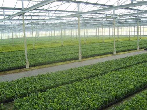 Buxus-sempervirens-50-Stueck-Bux-8-15-Buchsbaum-Hecken-Buchs-Pflanzen