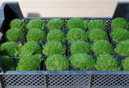 Sterrnmoos sagina online bestellen for Moos bilder pflanzen
