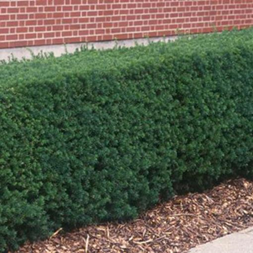 taxus_hedge_formal.jpg